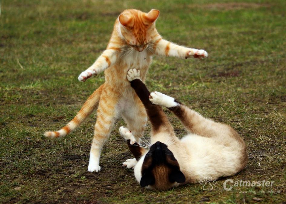 Myślisz o drugim kocie? Zaplanuj socjalizację!