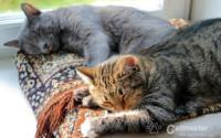 Socjalizacja z izolacją, czyli jak zapoznawać koty