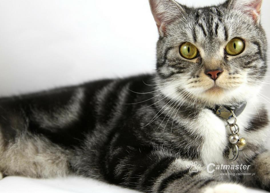 Jak znerwicować kota? Załóż mu obrożę z dzwoneczkiem!