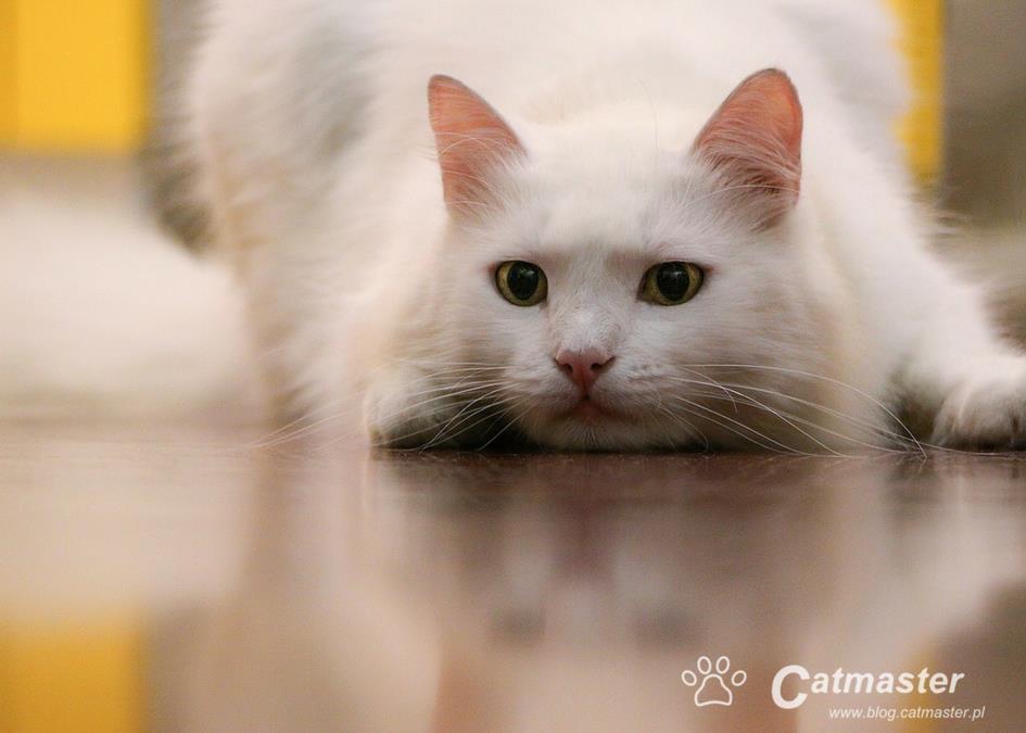 Czy laser nadaje się do zabawy z kotem?